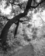 The Path (Blurmageddon) Tags: 4x5 largeformat filmphotography osakafieldcamera osaka120mmf63 tachihara franklincanyonpark beverlyhills epsonv700 adoxaph09 rodinal macophotir820c infrared ir720 cpl