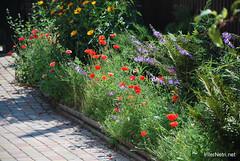 Маки, Дім, сад, город Ukraine InterNetri 165