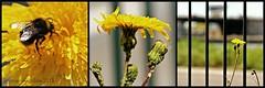 AKKERMELKDISTEL || GUTWEED (Anne-Miek Bibbe) Tags: havikskruid fieldmilkthistle fieldsowthistle perennialsowthistle cornsowthistle dindle gutweed swinethistle ackergänsedistel treesowthistle lelaiterondeschamps sonchusarvensis cerraja cardincha canoneos700d canoneosrebelt5idslr annemiekbibbe bibbe nederland 2018 tuin garden jardin giardino jardim natuur nature bloei bloemen flowers flor flores bloom blumen fleur fleurs fiori fioritura onkruid weed