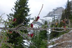 Spring Larch (*Andrea B) Tags: bankhead banff hike lake minnewanka likeminnewanka hiking c level cirque clevelcirque june 2018 spring june2018 banffnationalpark clevel alberta rockies larch cascademountain