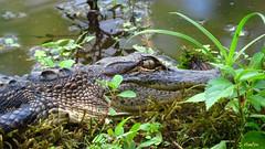 Camouflaged (Suzanham) Tags: alligator reptile crocodilians animal log camouflage americanalligator juvenile reptilian macro