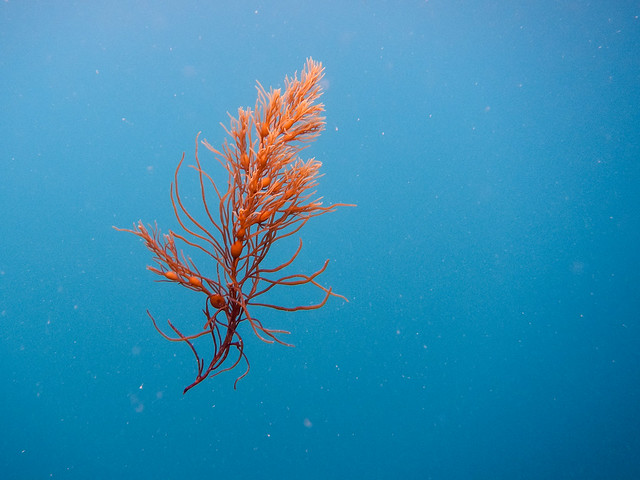 Japanese wireweed (Sargassum muticum) drifting through the ocean