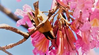 Ipê-rosa - Cambacica