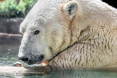 Pleased With His Catch (helenehoffman) Tags: arctic bear wildlife conservationstatusvulnerable kalluk mammal fish ursusmaritimus ursidae sandiegozoo polarbear polarbearplunge marinemammal animal