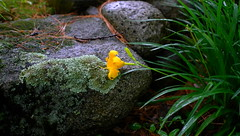 Stella D'Oro at the stair    L3330032 (LarryJ47) Tags: leicax1 leica flower green leaves stella doro color beauty nature yellow stone lichen