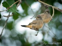 Say's Phoebe (Blazingstar) Tags: studio 26 birds says phoebe alberta