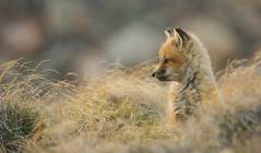 On watch (Clare Kines Photography) Tags: arctic nunavut fox wildlife arcticbay north vulpesvulpes mammal canada pup redfox den kit