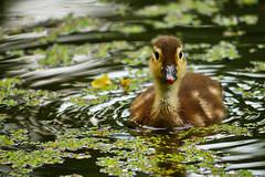 junge Ente (lebastian) Tags: panasonic dmcgx8 lumix g vario 100300f4056i ente jungtier animal wildlife