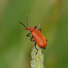 2018_05_1070 (petermit2) Tags: cardinalbeetle beetle adwickwashlands adwickupondearne adwick dearnevalley doncaster southyorkshire yorkshire rspb