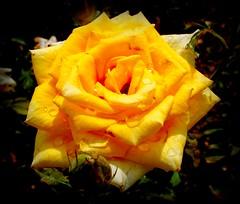 Rosa Gialla - (dona(bluesea)) Tags: rosa rose rosagialla yellowrose ortobotanico botanicalgarden nonèfacileinvecchiare itisnoteasytogetold poesia poetry ceciliaresio palermo sicilia sicily