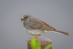 Dark-eyed Junco (Slate-colored) (Becky Matsubara) Tags: alaska avian bird birds deju darkeyedjunco fairbanks junco juncoardoisé juncohyemalis nature outdoors wildlife