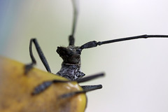 white-spotted sawyer (scienceduck) Tags: 2018 scienceduck june ontario canada insect sawyer whitespottedsawyer sprucesawyer monochamusscutellatus lakemuldrew muskoka