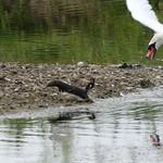 Swan attacking a mink P1900673 thumbnail