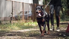 Keep going (zola.kovacsh) Tags: outdoor animal pet dog iron doberman pinscher dobermann wood forest