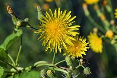 PAS_3586 (peterstratmoen) Tags: wildflowers nature naturebynikon