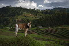 A young calf at the fields (Ravikanth K) Tags: 500px young calf fields carrot kodaikanal kodai outdoor domestic cow animal kookal stepped mountains hills south india livestock cute green greenary standing