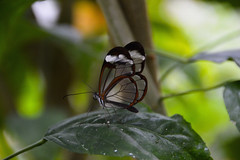 Glasswing Butterfly (Greta oto) (Seventh Heaven Photography) Tags: glasswing butterfly gretaoto greta oto danainae insect nikond3200 chester zoo cheshire wildlife closeup bokeh