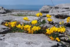 Bird's-foot trefoil on the Burren (Astaken) Tags: olympus omd em5 43 lens zuiko digital zd ed swd 1260mm