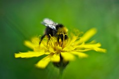 Bumblebee (Stefano Rugolo) Tags: stefanorugolo pentax k5 pentaxk5 helios44258mmf2 helios442 helios bumblebee bombus taraxacumofficinale dandelion flower blooming summer green yellow macro fotodioxpro fotodioxmacroextensiontube manual manualfocuslens manualfocus vintagelens bokeh