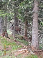 DSCN0140 (Puntin1969) Tags: animali bosco nikon coo valdifassa fassa montagna estate luglio trentino