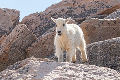 Mountain Goat kid bounds by - Sequence - 7 of 17