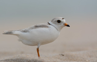 Piping Plover (F)