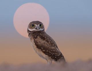 Burrowing Owl Juvenile  (Athene cunicularia)
