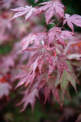 Rain at Last (johntibbetts@tiscali.co.uk) Tags: green red japanese tree water leaves rain acer