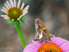 In the Butterfly Garden - 2 (Wade Hooper Photos) Tags: closeupphotography macrophotography butterfly silverspottedskipper butterflygarden flowers wadehooperphotography purpleconeflower nativeplant insect leaves stems blooms blossom tennessee timberlandpark