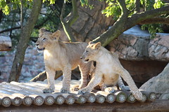 Lion Cubs (Rckr88) Tags: lion cubs lioncubs cub lioncub lions animal animals zoos johannesburgzoo southafrica johannesburg zoo south africa gauteng bigcat nature outdoors travel travelling animalsanctuary animalpark
