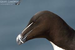 Razorbill Close-up (Alca torda) (gcampbellphoto) Tags: razorbill alcatorda auk seabird avian nature wildlife coast cliff sea bird gcampbellphoto isleofmay scotland