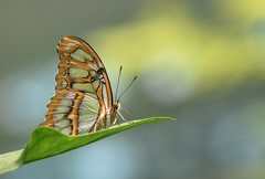Siproeta stelenes butterfly (Torok_Bea) Tags: siproetastelenes pillangó butterfy lepke szépség nikon nikond7200 d7200 macro papilion beautiful lepidoptera siproeta