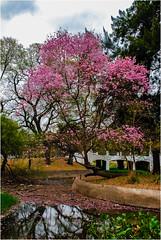 DSC_2063 (Lucio_Vecchio) Tags: lapacho árbol tree plaza parque cielo nubes flores nikon d40x argentina