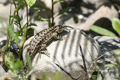 063018 Western Fence Lizard (wildcatlou) Tags: california landscape nature summer june flora lizard reptile rocks shadows westernfencelizard wildlife