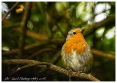 Robin posing for the camera (awardphotography73) Tags: cardiff colours naturereserve forestfarm ukbirds wildbirds robin