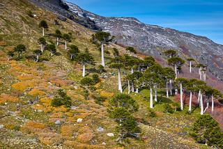 Araucarias - Parq. Nac. Conguillio (Norpatagonia Chile)