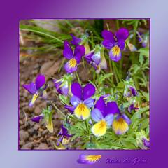 Pensées sauvages (Xtian du Gard) Tags: xtiandugard peintures painting digiart violet mauve pensées sauvages fleurs blossoms nature iceland islande