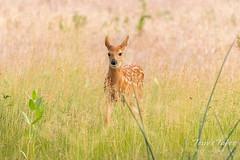 Precious White-tailed Deer fawn
