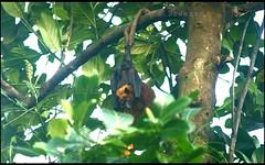 Leave me alone... ജീവിക്കാൻ അനുവദിക്കൂ...😇 (R.Sreeram) Tags: leavemealone green bat nature rsreeramphotography jackfruittree life jackfruit