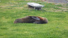 Seal Resting, Napier, Hawke's Bay, NZ - 13/6/18 (Grumpy Eye) Tags: panasonic dmcft3 seal resting napier