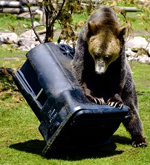 Leveraging Weight Against Can (hecticskeptic (off to Spain until mid-October soon) Tags: westyellowstone discoverycenter grizzlybear markamorgan trashcantesting