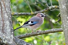Geai des chênes - Garrulus glandarius (Ezzo33) Tags: france gironde nouvelleaquitaine bordeaux ezzo33 nammour ezzat sony rx10m3 parc jardin oiseau oiseaux bird birds specanimal geai des chênes garrulus glandarius eurasian jay