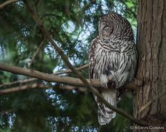 Barred Owl (Robyn Cowan) Tags: barredowl barred owl raptor britishcolumbia
