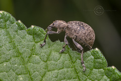 _IMG8466  Vine Weevil (Pete.L .Hawkins Photography) Tags: petehawkins petelhawkinsphotography petelhawkins petehawkinsphotography pentax 100mm macro pentaxpictures pentaxk1 petehawkinsphotographycom fantasticnature fabulousnature incrediblenature naturephoto wildlifephoto wildlifephotographer naturesfinest unusualcreature naturewatcher insect invertebrate bug 6legs compound eyes creepy crawly uglybug bugeyes fly wings eye veins flyingbug flying beetle shell elytra ground vine weevil