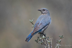 Mountain Bluebird (Turk Images) Tags: greatsandhills mountainbluebird sialiacurrucoides bird mobl saskatchewan turdidae prairie spring