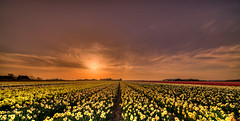 Daffodils basking in the sun. (Alex-de-Haas) Tags: 11mm adobe blackstone d850 dutch hdr holland irix irix11mm irixblackstone lightroom nederland nederlands netherlands nikon nikond850 noordholland photomatix beautiful beauty bloem bloemen bloementeelt bloemenvelden cirrus daffodil daffodils floriculture flower flowerfields flowers landscape landschaft landschap lente lucht mooi narcis narcissen polder skies sky spring sun sundown sunset zonsondergang