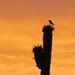 Sunrise Falcon