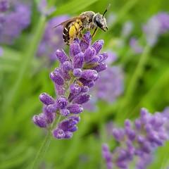 Hello little bee (Bastian_Schmidt) Tags: bee wild lavender macro samsunggalaxy garden nature wilderness insects honey