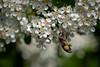 Klimmzug (Peter Goll thx for +7.000.000 views) Tags: erlangen germany bee nature macro blossom nikon nikkor d850 105mm