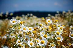 Heřmánek (slanur004) Tags: květ nature příroda nikon nikond3100 českárepublika morava czechia czechrepublic zlínskýkraj heřmánek natrure